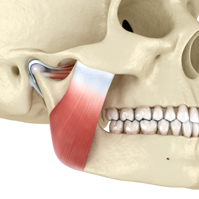 illustration of jaw muscle